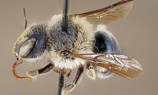 , Scientists rediscover a rare type of blue bee in Florida, once presumed to be extinct, The Circular Economy