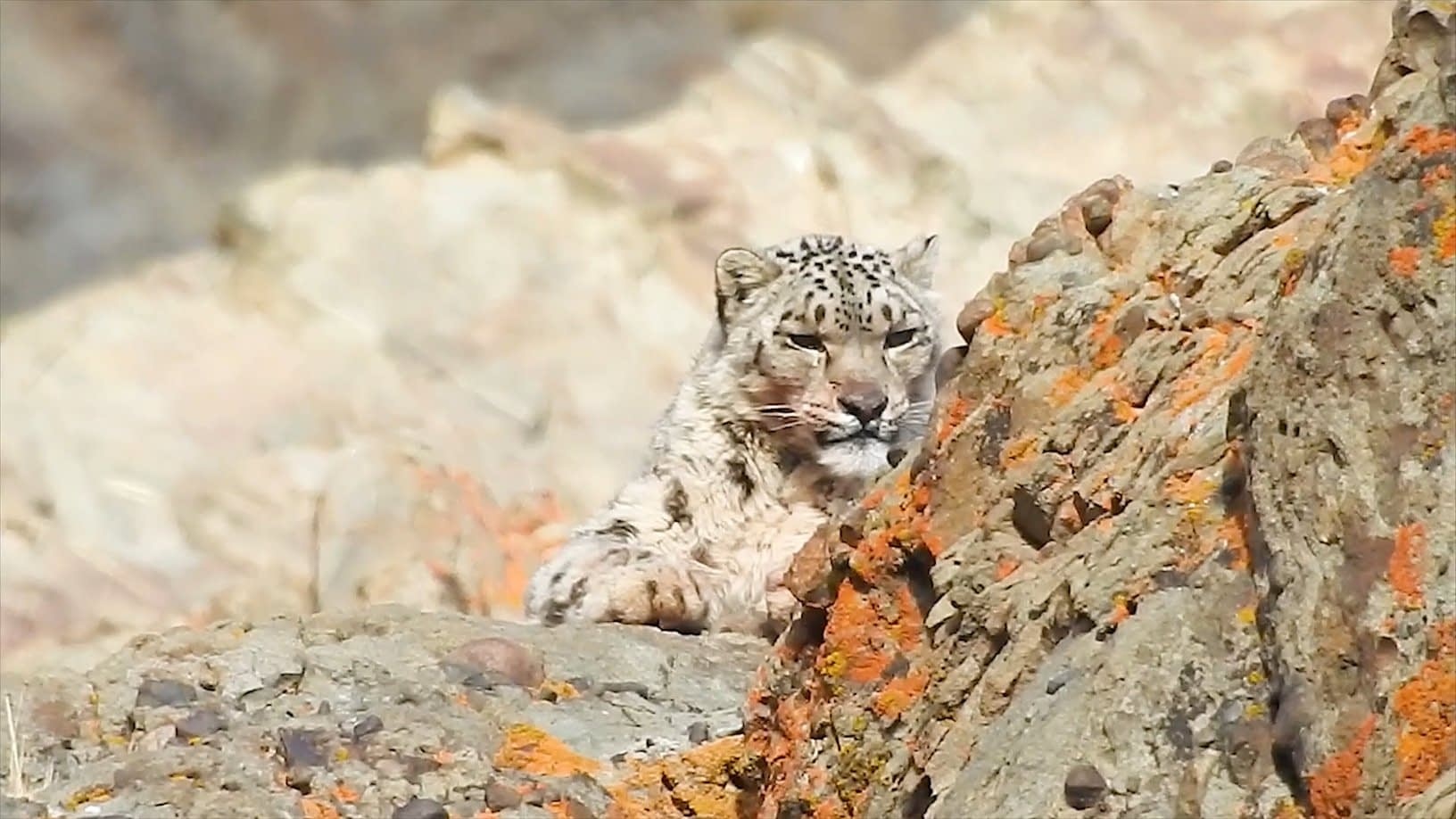 , Snow Leopard: The Ghost of the Brown Mountains|Roundglass|Sustain, TheCircularEconomy.com