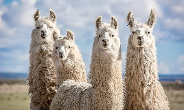 , Sustainable asthma-style inhaler filled with powerful LLAMA antibodies could treat COVID-19, TheCircularEconomy.com