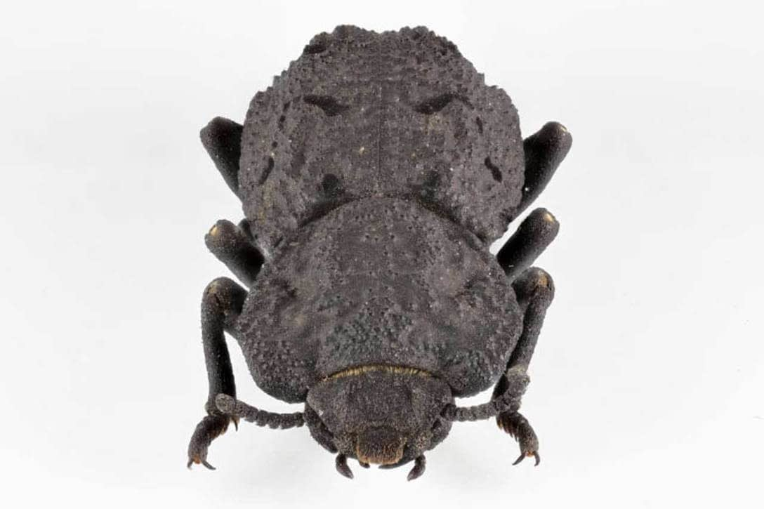, Researchers discover secrets of the nearly indestructible ironclad beetle, TheCircularEconomy.com